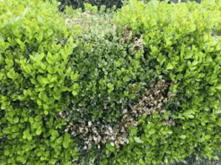 How To Control Box Blight In Hedges