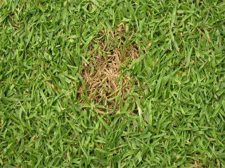 Fusarium Patch