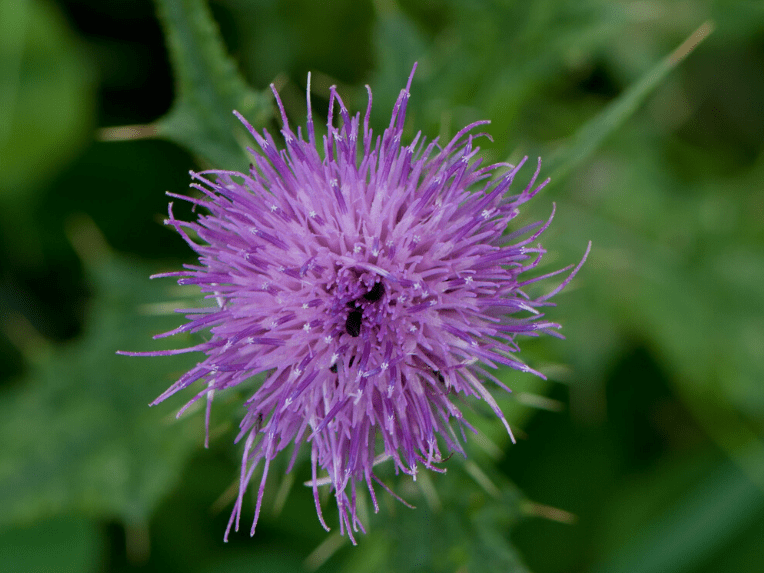 How To Control Thistles