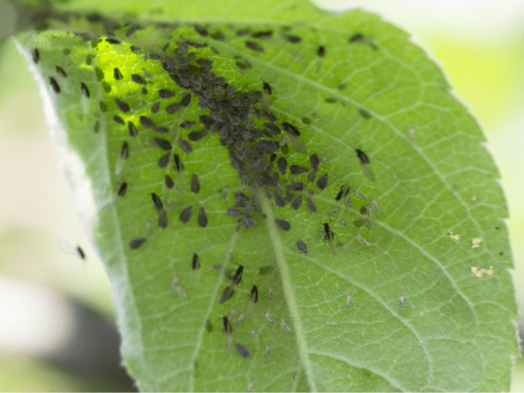 Aphid & Whitefly Warning