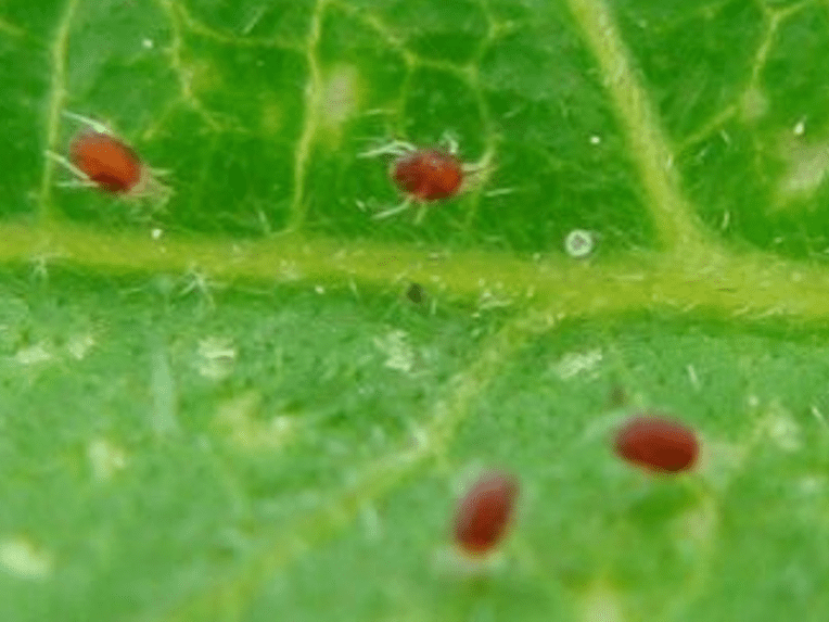 Spider Mite Increase