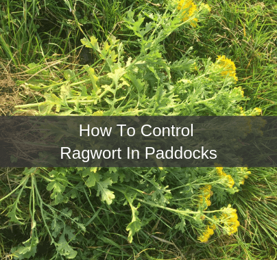 How To Control Ragwort In Paddocks