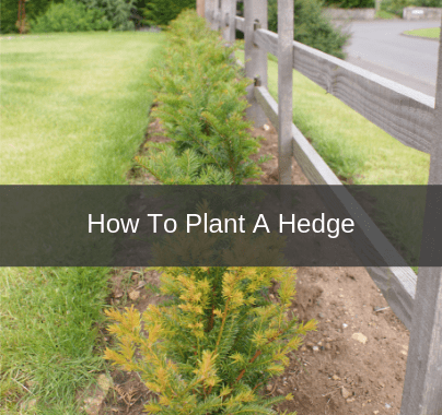How To Plant A Hedge