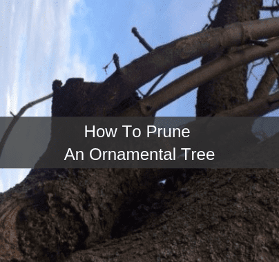 Pruning An Ornamental Tree