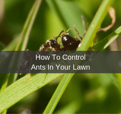 How To Control Ants In Your Lawn
