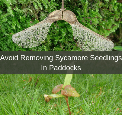 Removing Sycamore Seedlings in Paddocks