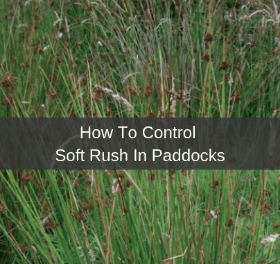 How to control soft rush in paddocks