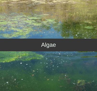 Algae Weed Control