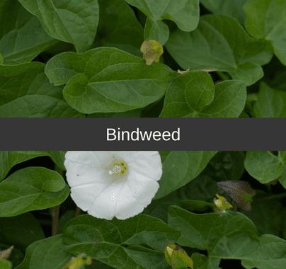 Bindweed Weed Control