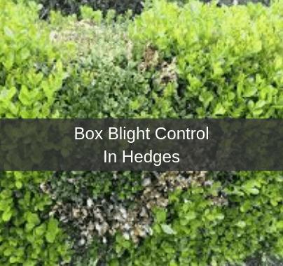 Box Blight Control