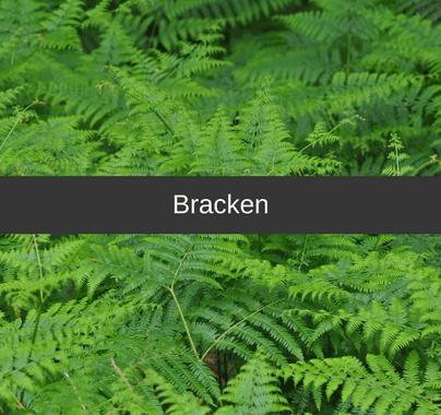 Bracken Weed Control