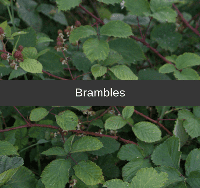 Brambles Weed Control