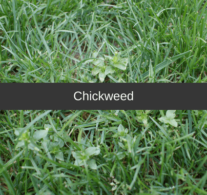 Chickweed Weed Control Guide