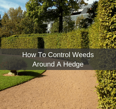 Weed Control Around A Hedge