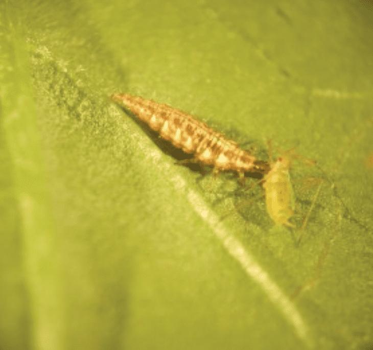 Lacewig Larvae Aphid Control