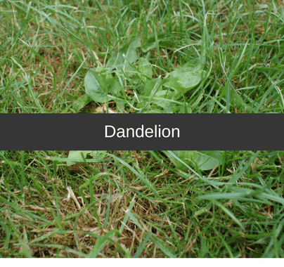 Dandelion Weed Control Guide