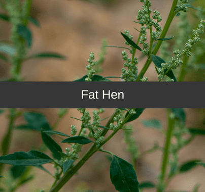 Fat Hen Weed Control