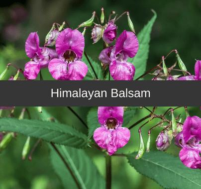 Himalayan Balsam Weed Control