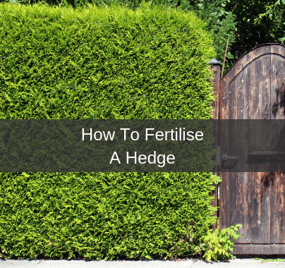 How To Fertilise A Hedge