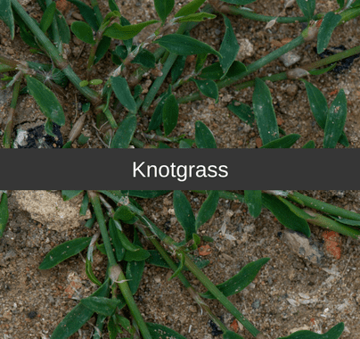 Knotgrass Weed Killer