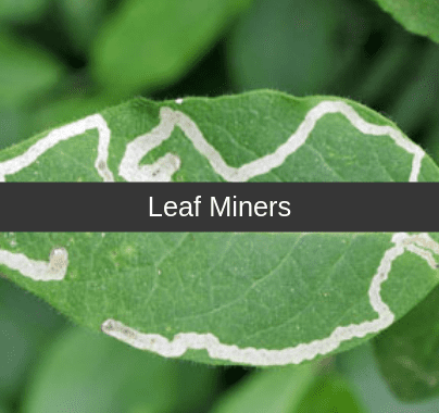 Leaf Miners