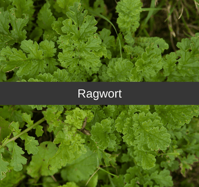 Ragwort weed Control