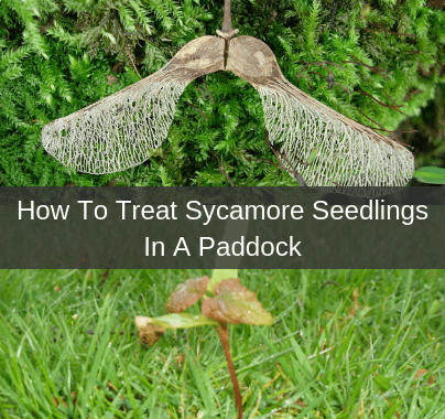 Removing Sycamore Seedlings in Paddocks