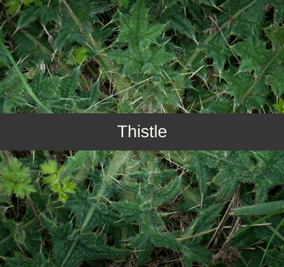 Thistle Weed Control