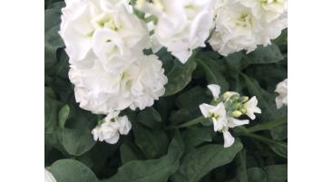 Downy Mildew infecting cut flowers & bedding plants